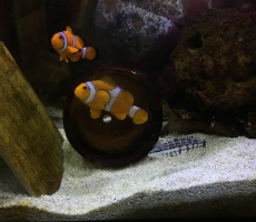 Paired Clown Fish and Harlequin Basslet