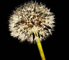 Dandelion in dark