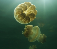 Meduse in controluce al Jellyfish lake a Palau