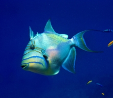 Young Queen Triggerfish